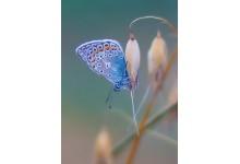 Голубяночка